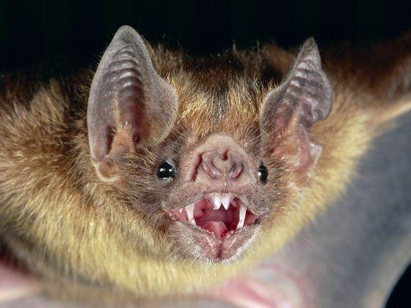 100% ALL NATURAL BATS!